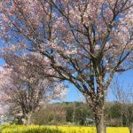 横浜出張撮影・菜の花&桜のコラボレーション