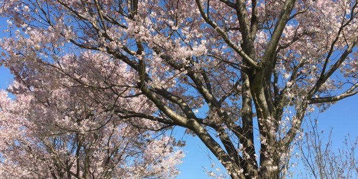 横浜市 桜 菜の花