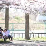 江戸川区桜の名所に出張撮影に行ってきました
